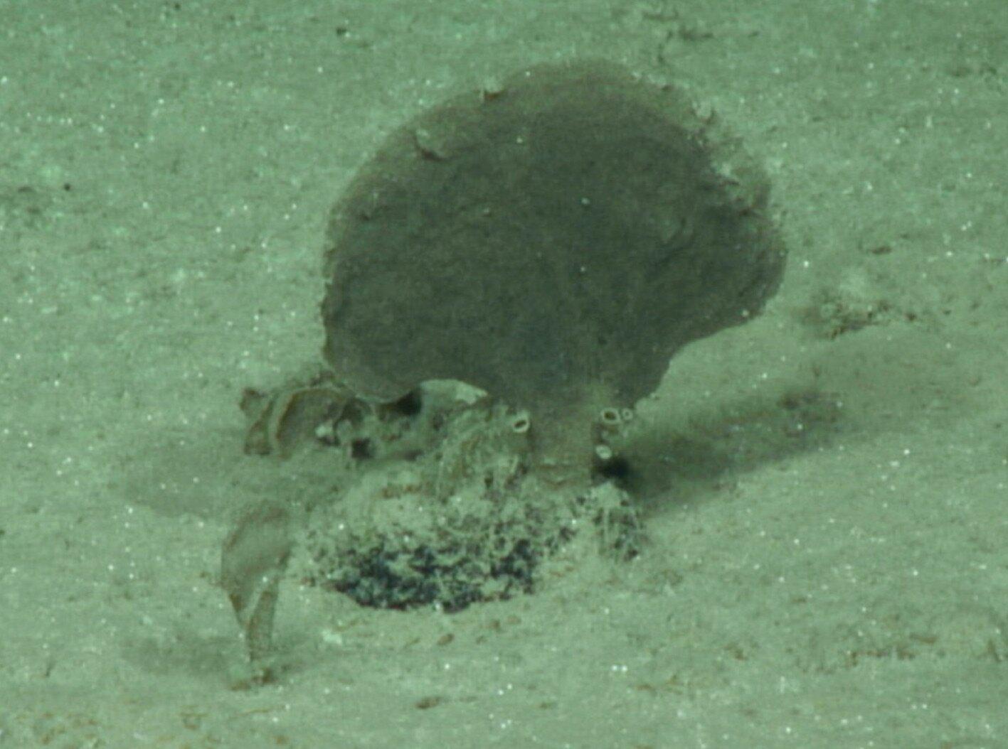 В Тихом океане обнаружили новые виды гигантских ксенофиофор