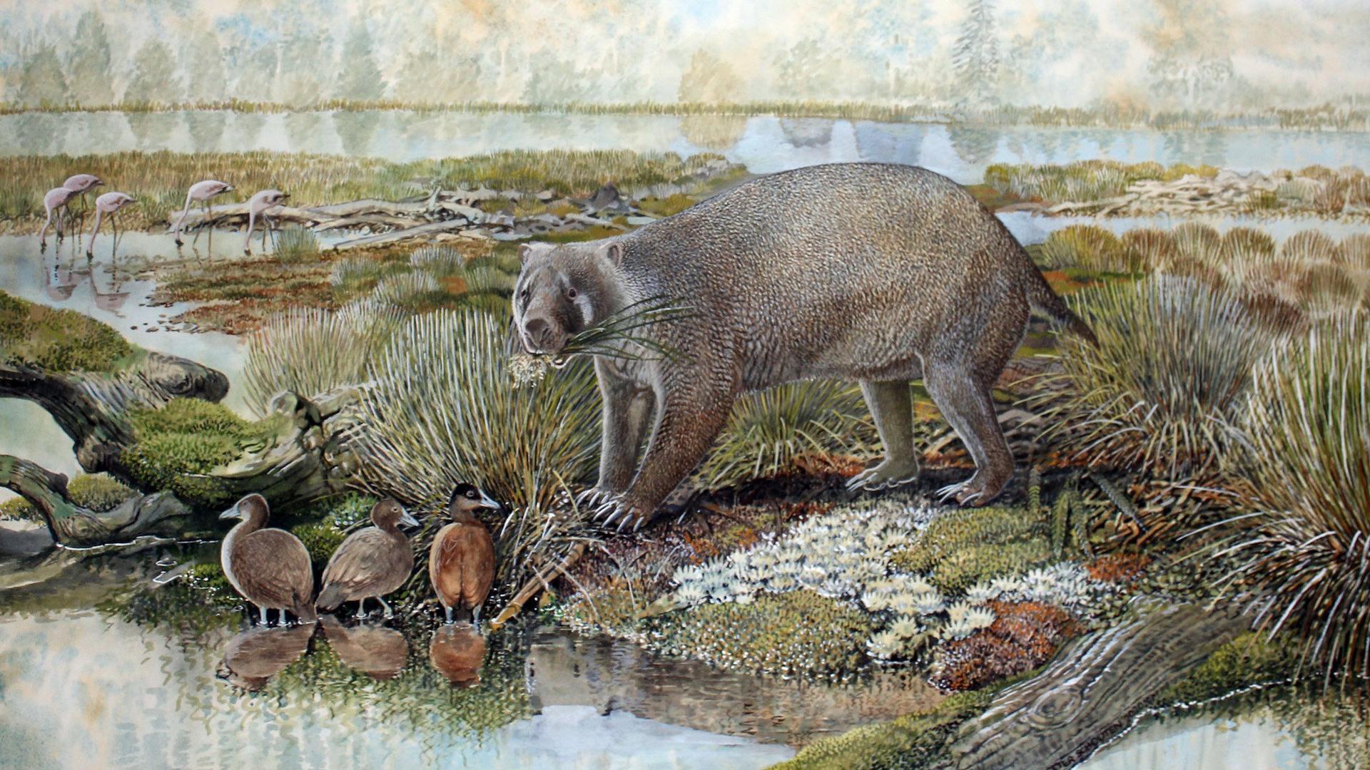 Гигантский родственник вомбата бродил по Австралии 25 миллионов лет назад