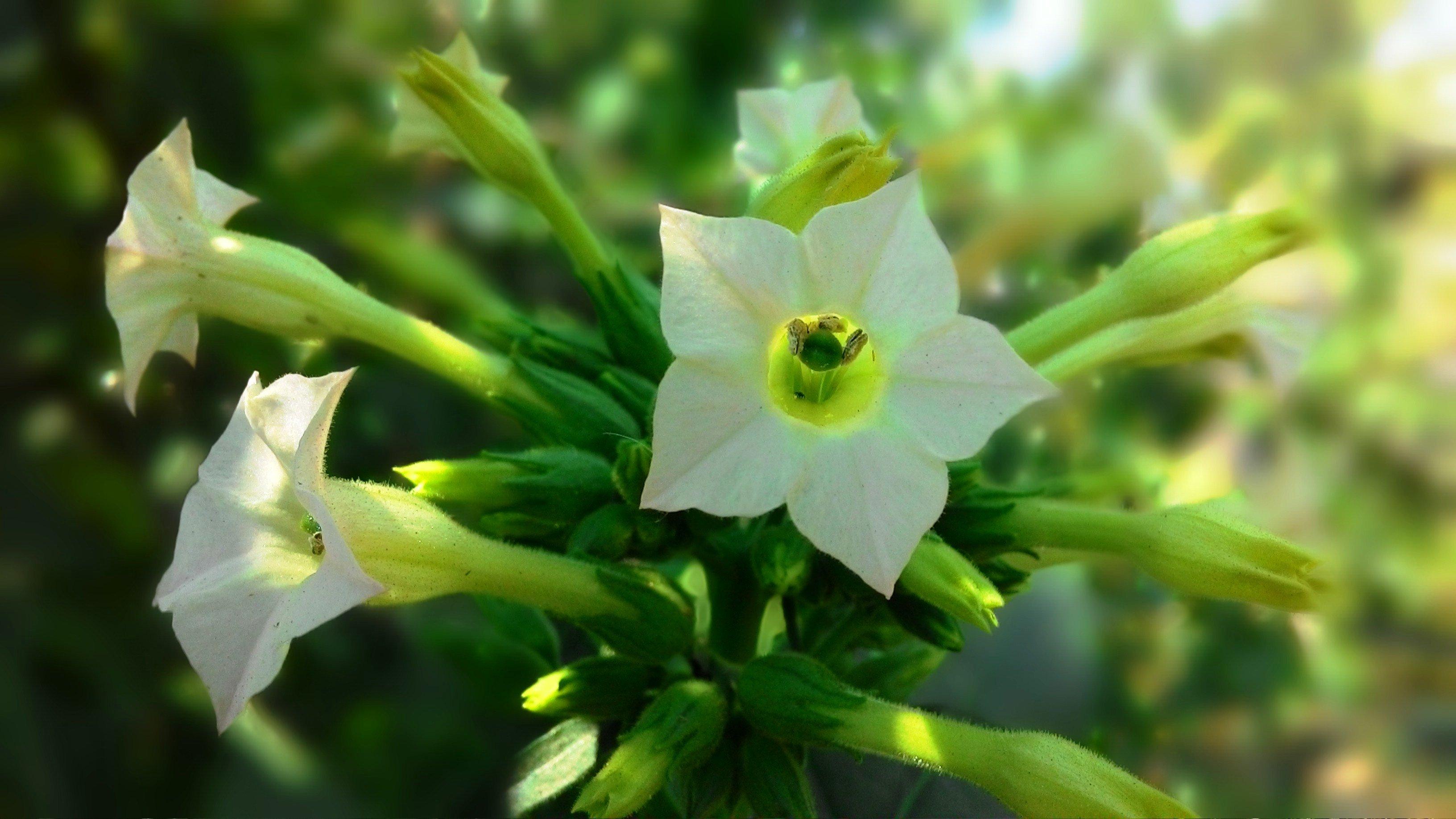 Как сделать антитела в растениях