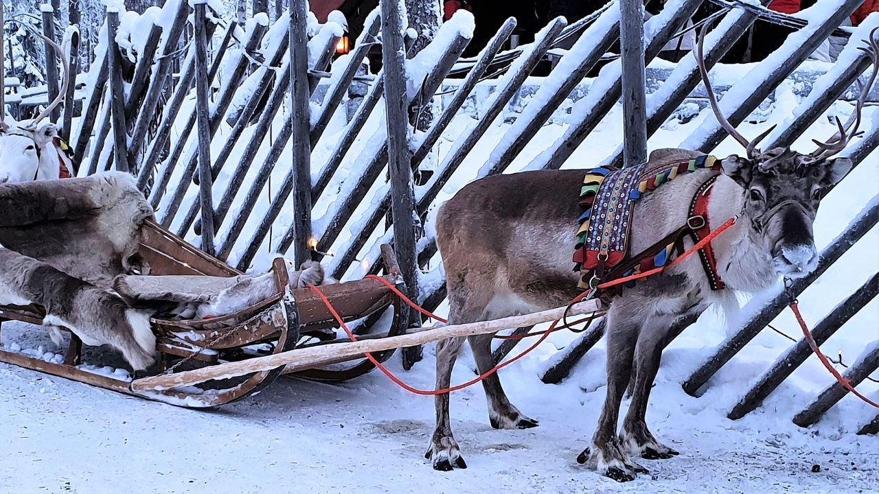 Одомашнивание северных оленей сдвинули на тысячу лет в прошлое
