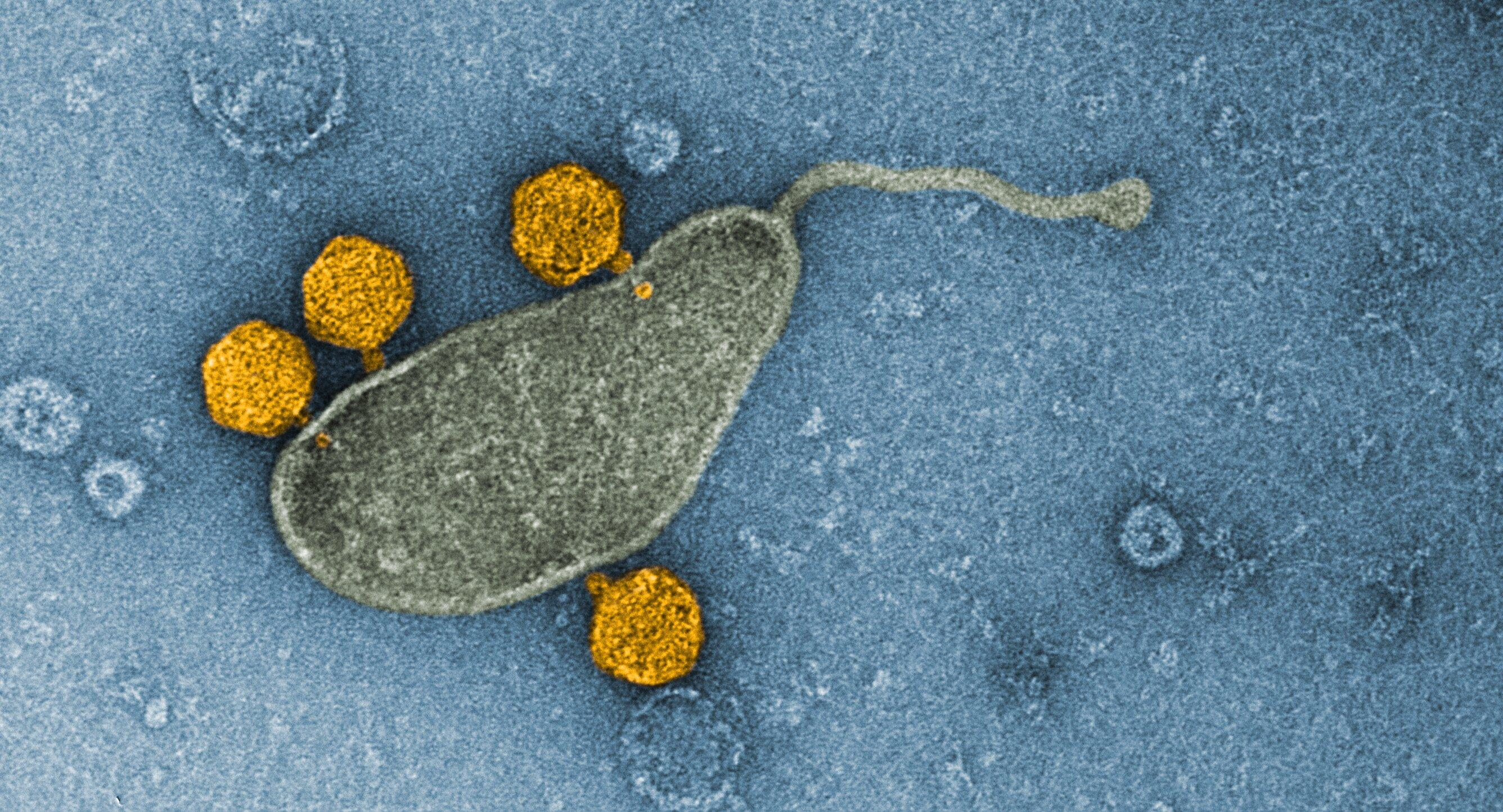 Самая распространенная бактерия Мирового океана оказалась резервуаром вирусов — и это ее возможный секрет успеха