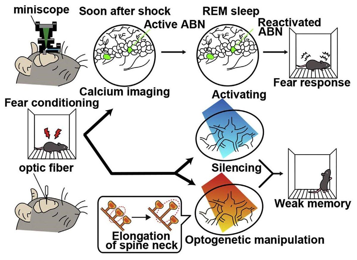Консолидация памяти во сне потребовала нейрогенеза гиппокампа