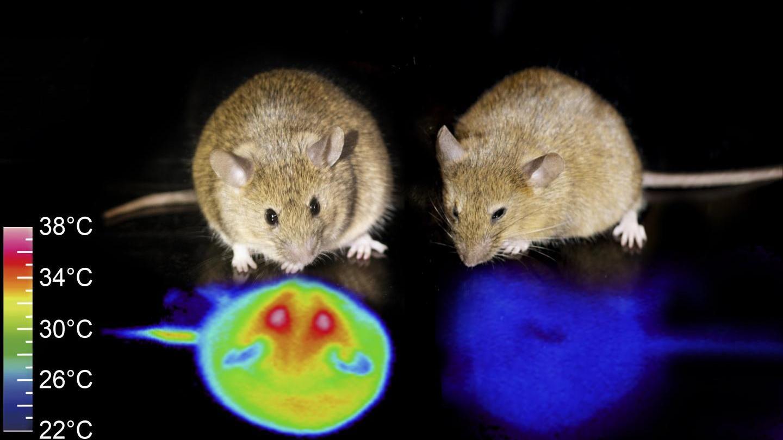 Стимуляция гипоталамуса ввела мышей в оцепенение
