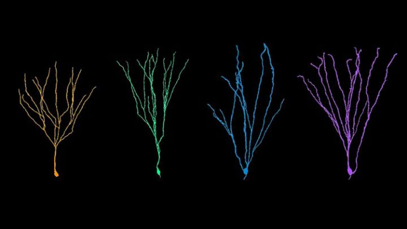 Новые нейроны у взрослых не так просты, как кажется