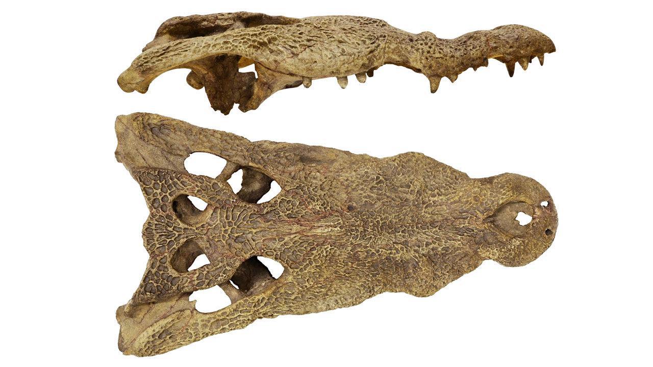 В Африке нашли предка американских крокодилов