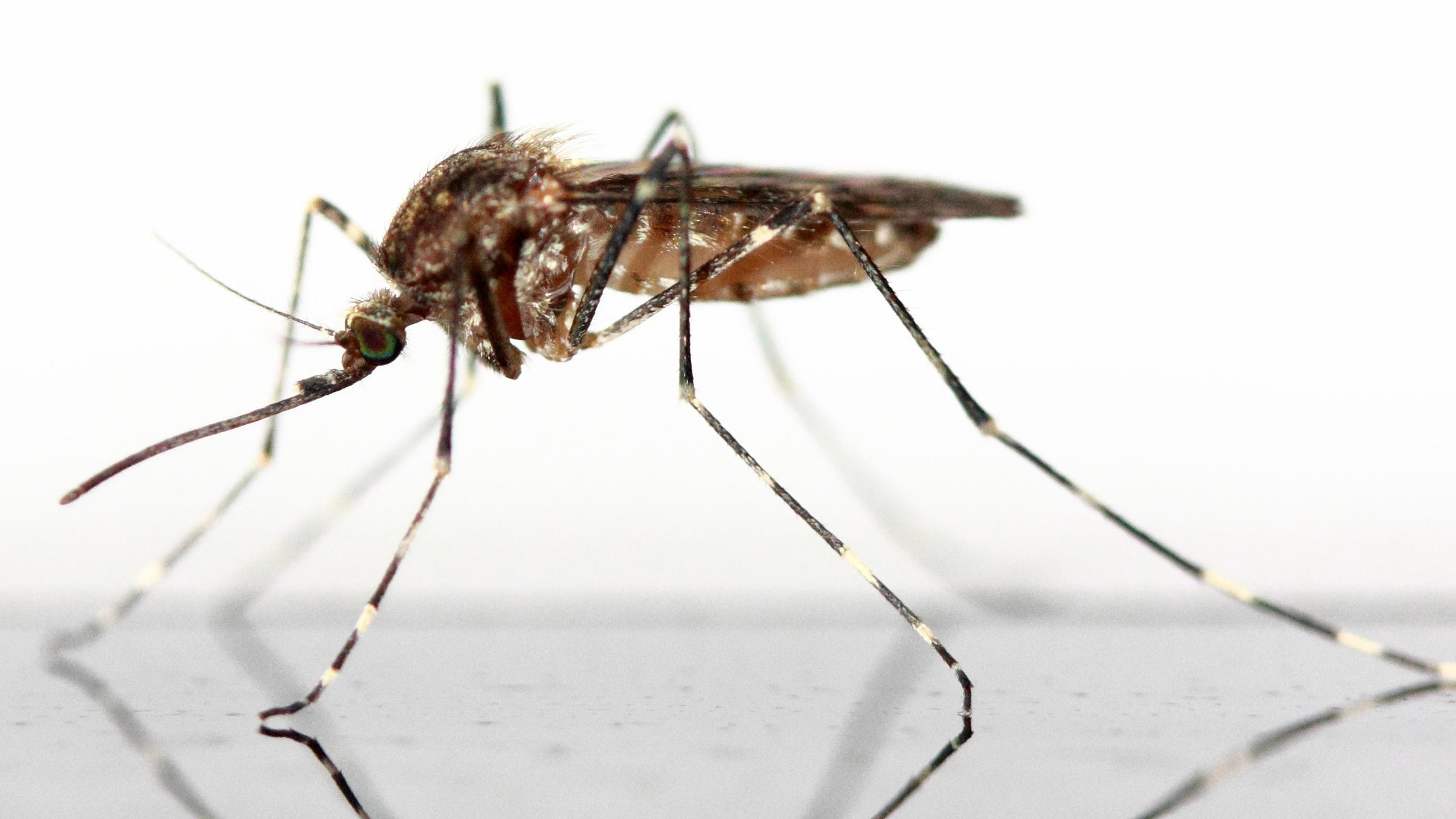 Двое в комнате. Человек и комар: рандеву, переходящее в сафари