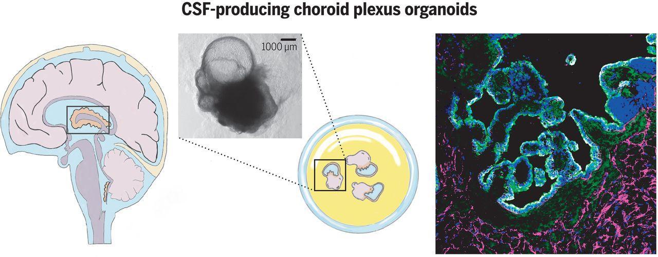 Получены искусственные органоиды, выделяющие спинномозговую жидкость