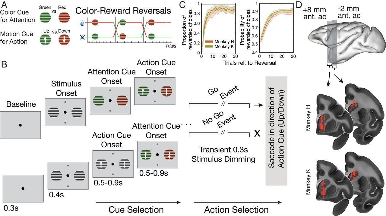 Быстроразряжающиеся нейроны полосатого тела помогли переключить внимание между стимулами