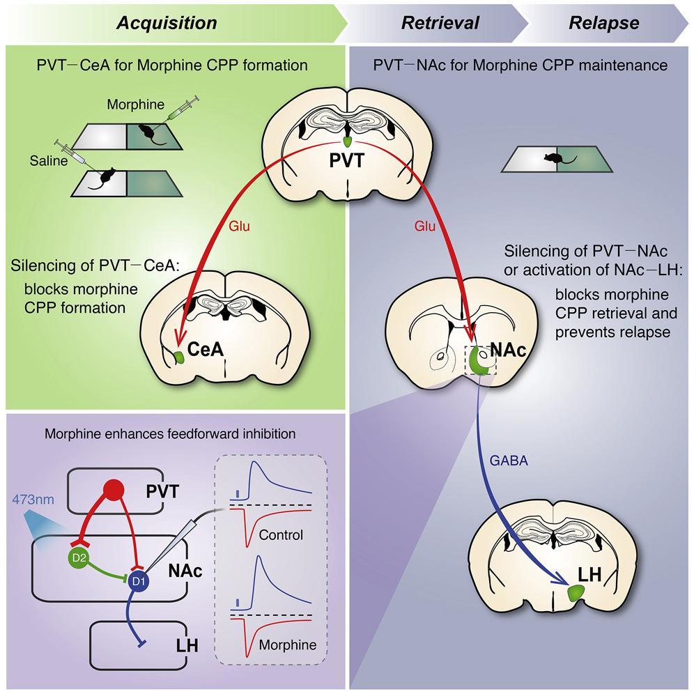 Отключение нейронов таламуса заставило мышей-наркоманов забыть про морфин