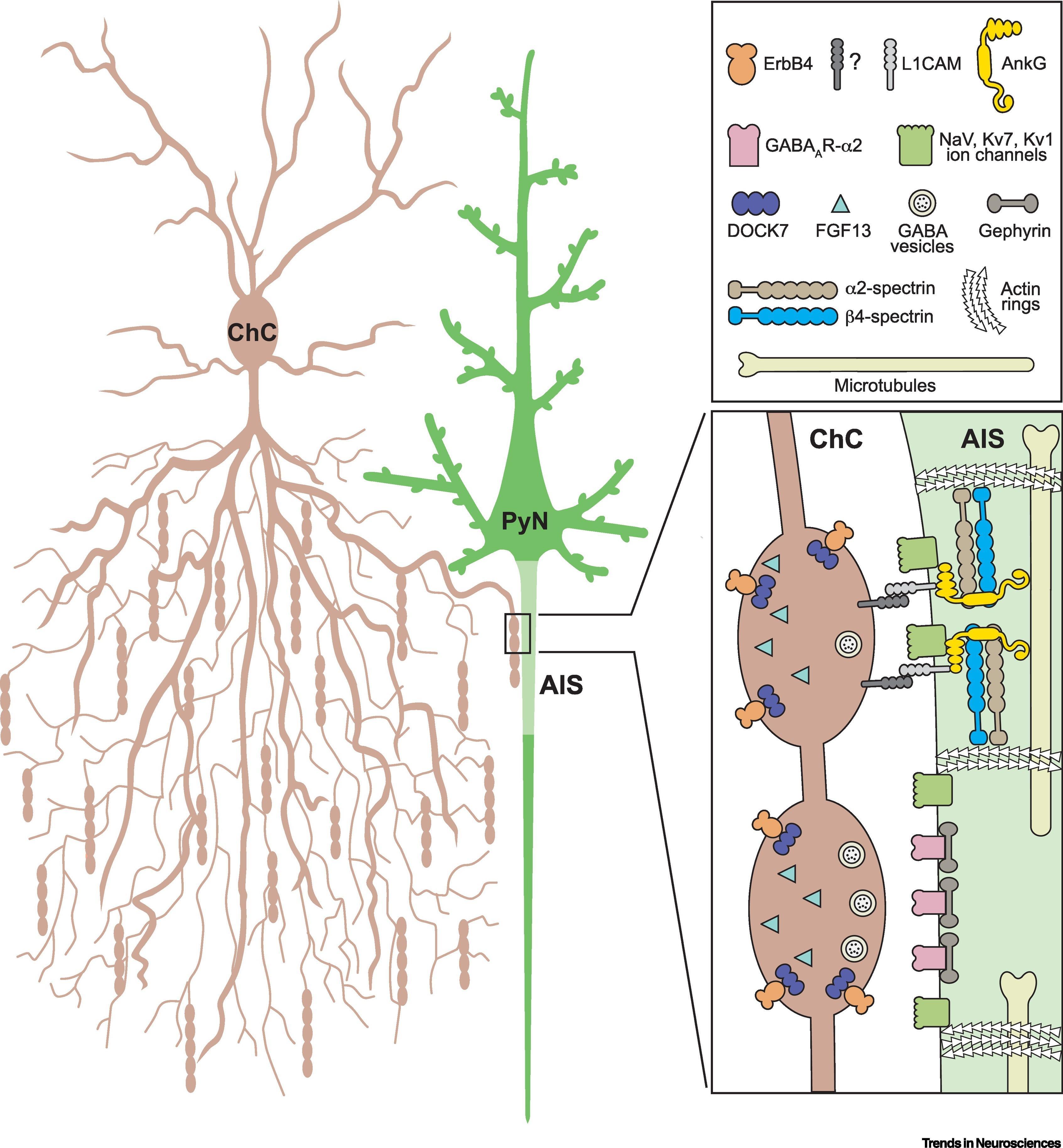 Тормозные клетки-канделябры улучшают когнитивные функции