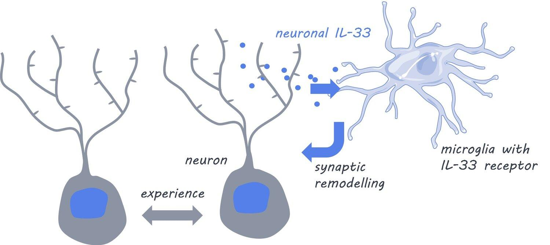 Иммунитет помогает мозгу настраивать нейронные сети