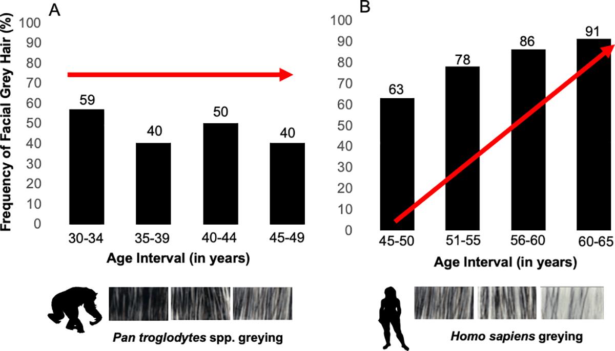 Ученые опровергли связь седины с возрастом у шимпанзе