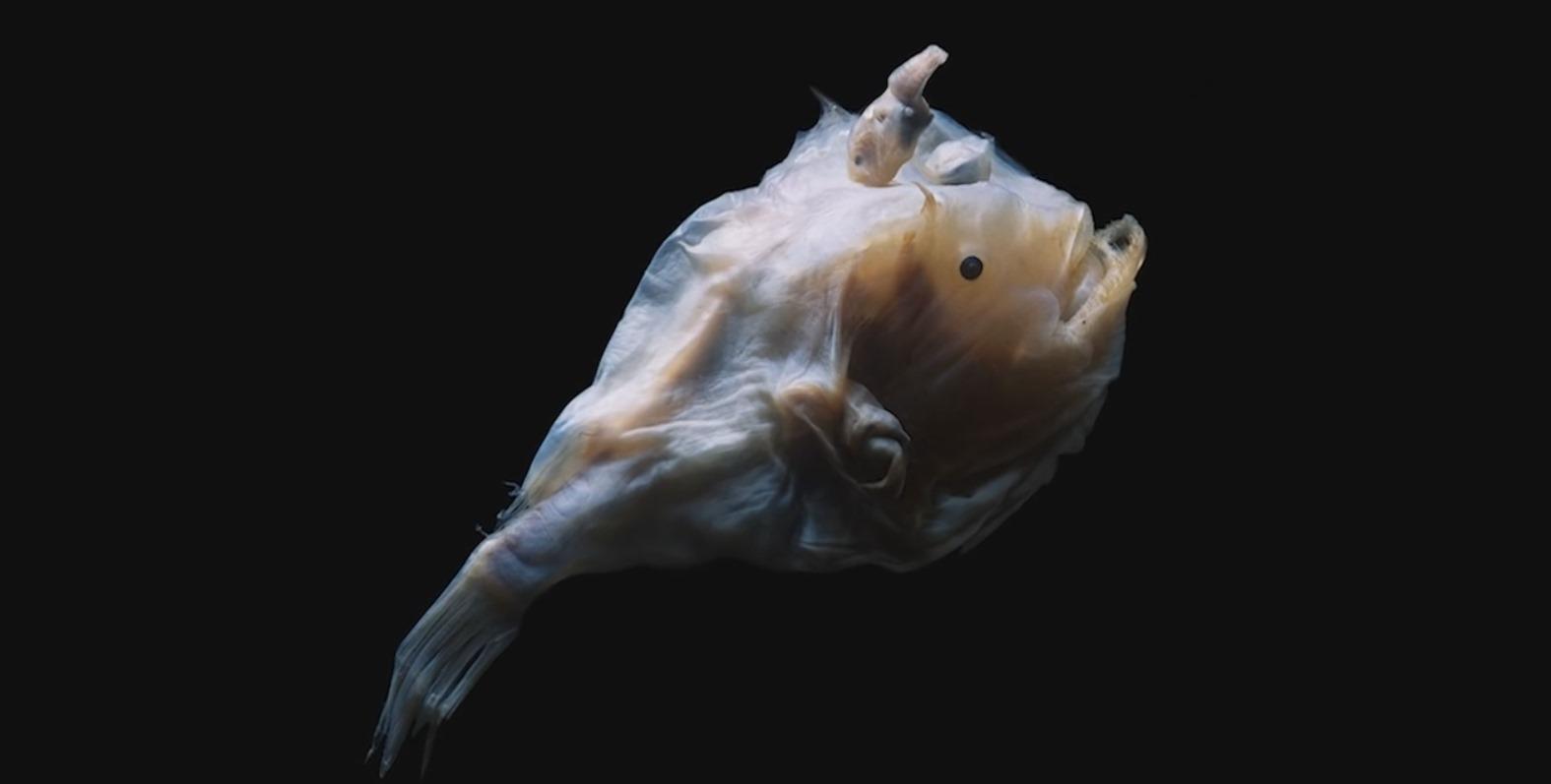 Слияние самца рыбы-удильщика с телом самки обеспечивает отсутствие нормального иммунитета