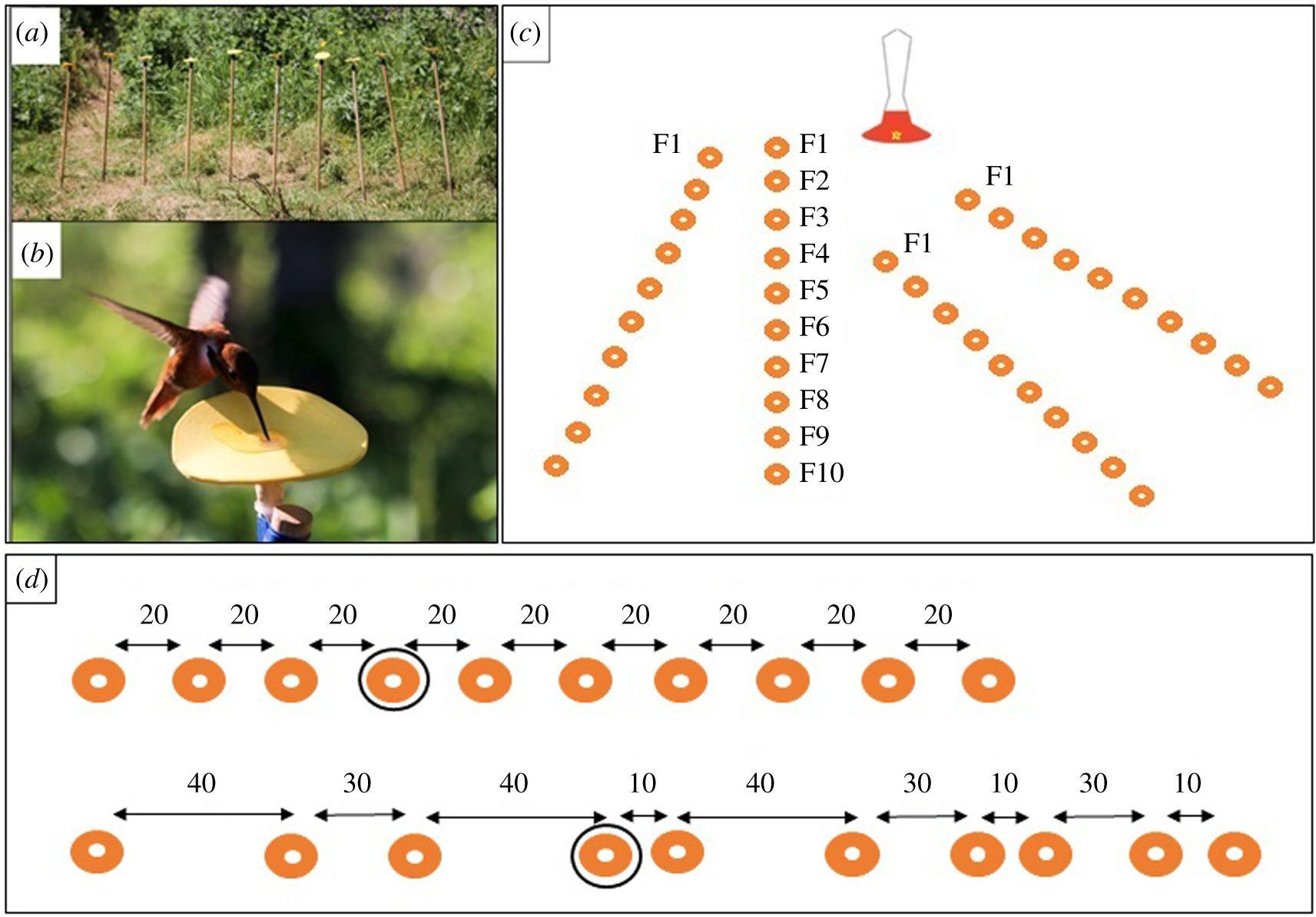 Колибри запомнили порядковый номер цветков