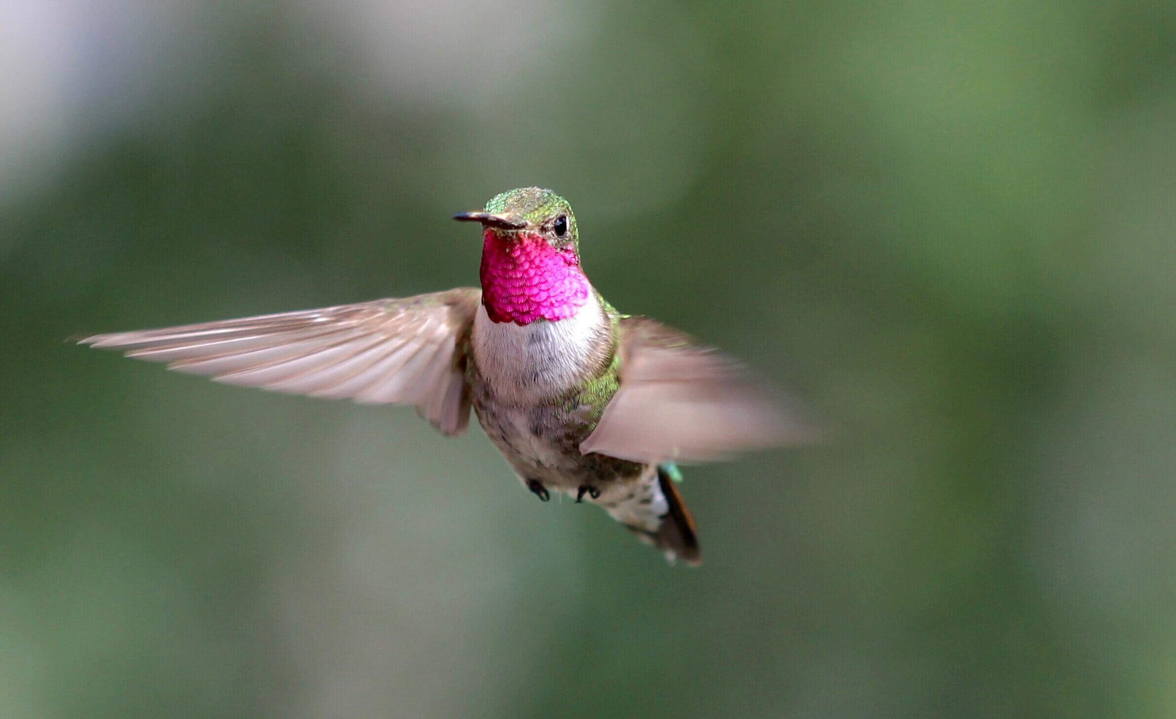 Колибри различили четыре неспектральных цвета