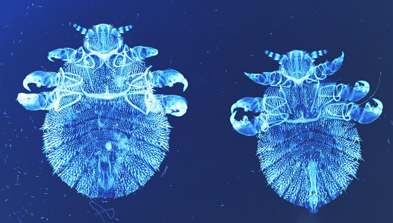 Тюленьи вши пережили давление в 200 атмосфер