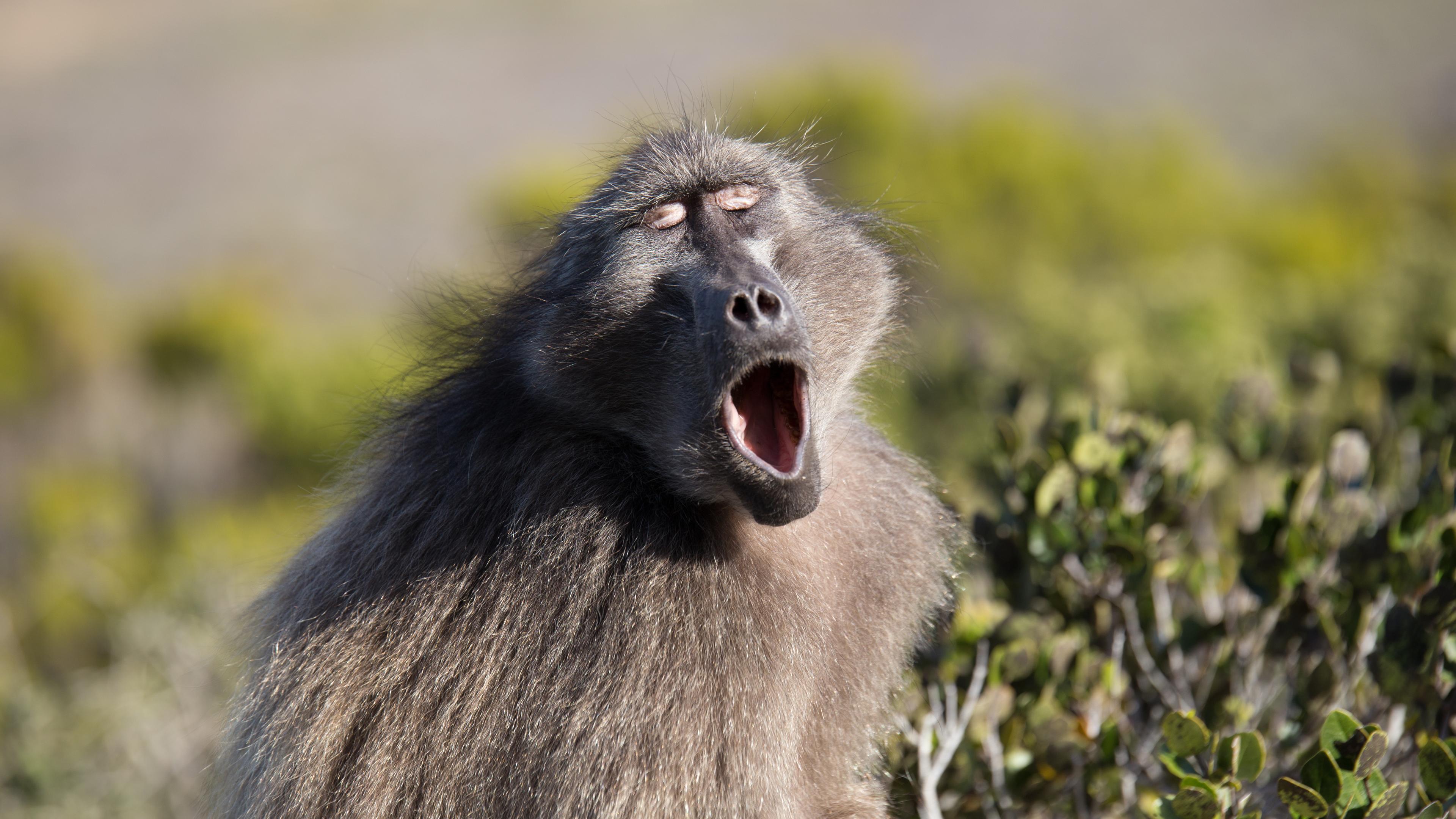 Расти, гортань! Почему у приматов такой крупный голосовой аппарат?