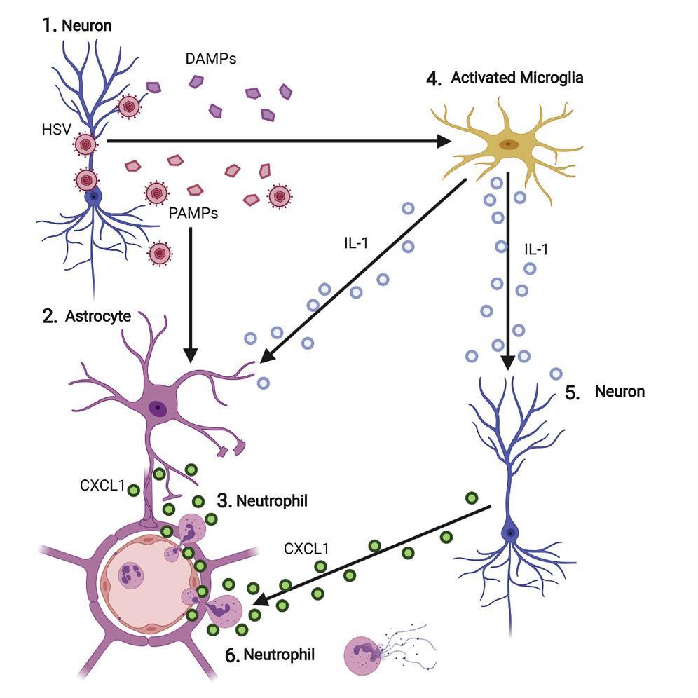 Воспаление мозга при заражении вирусом простого герпеса вызывают сами мозговые клетки
