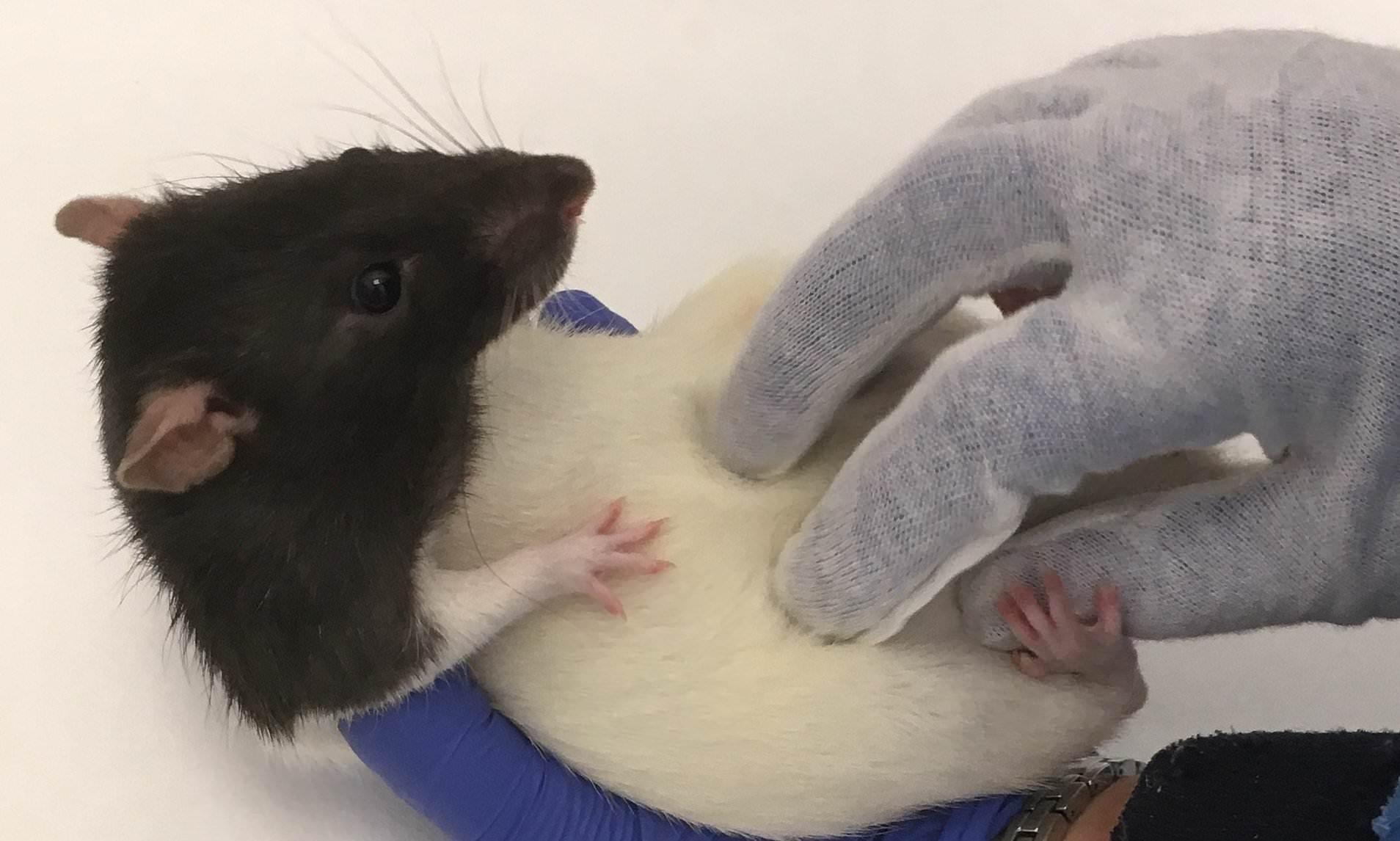 Как крысы реагируют на щекотку
