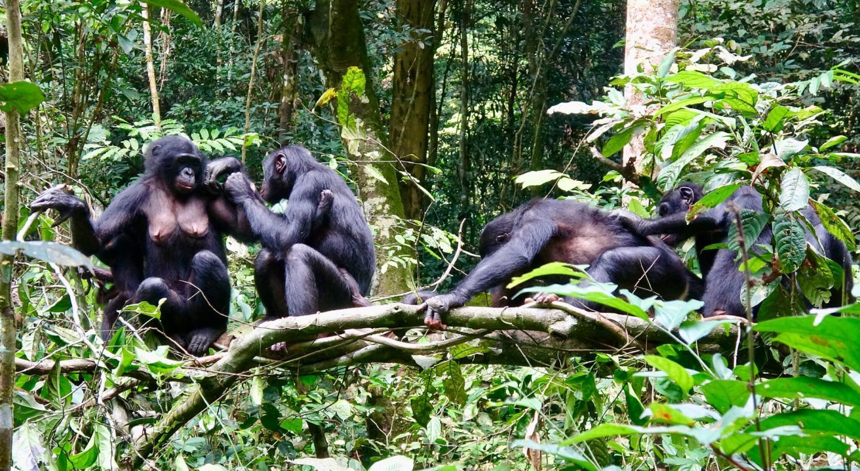 Культурные бонобо не будут драться за пищу