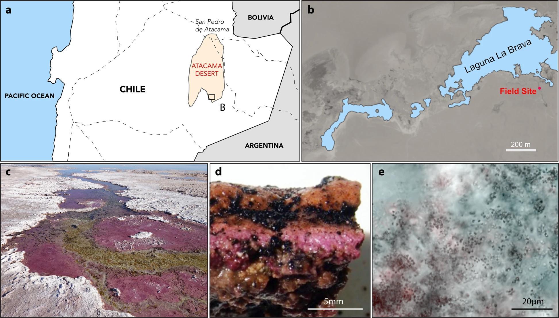 Первые микроорганизмы могли использовать вместо кислорода мышьяк