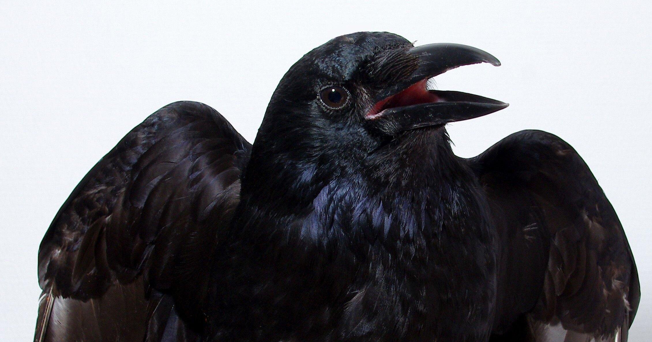 У ворон впервые обнаружили способность переживать субъективный опыт