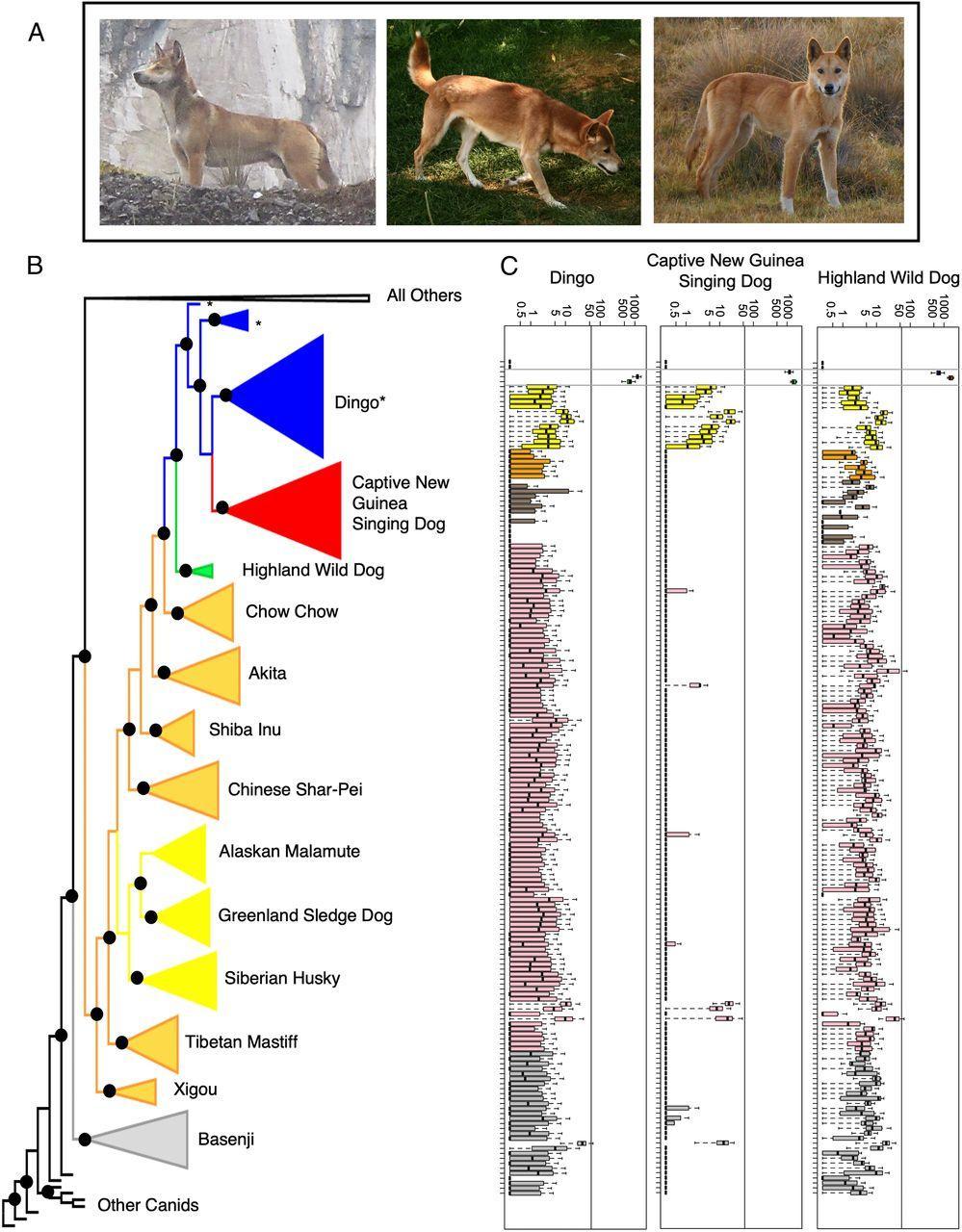 Биологи обнаружили дикого предка уникальной новогвинейской поющей собаки