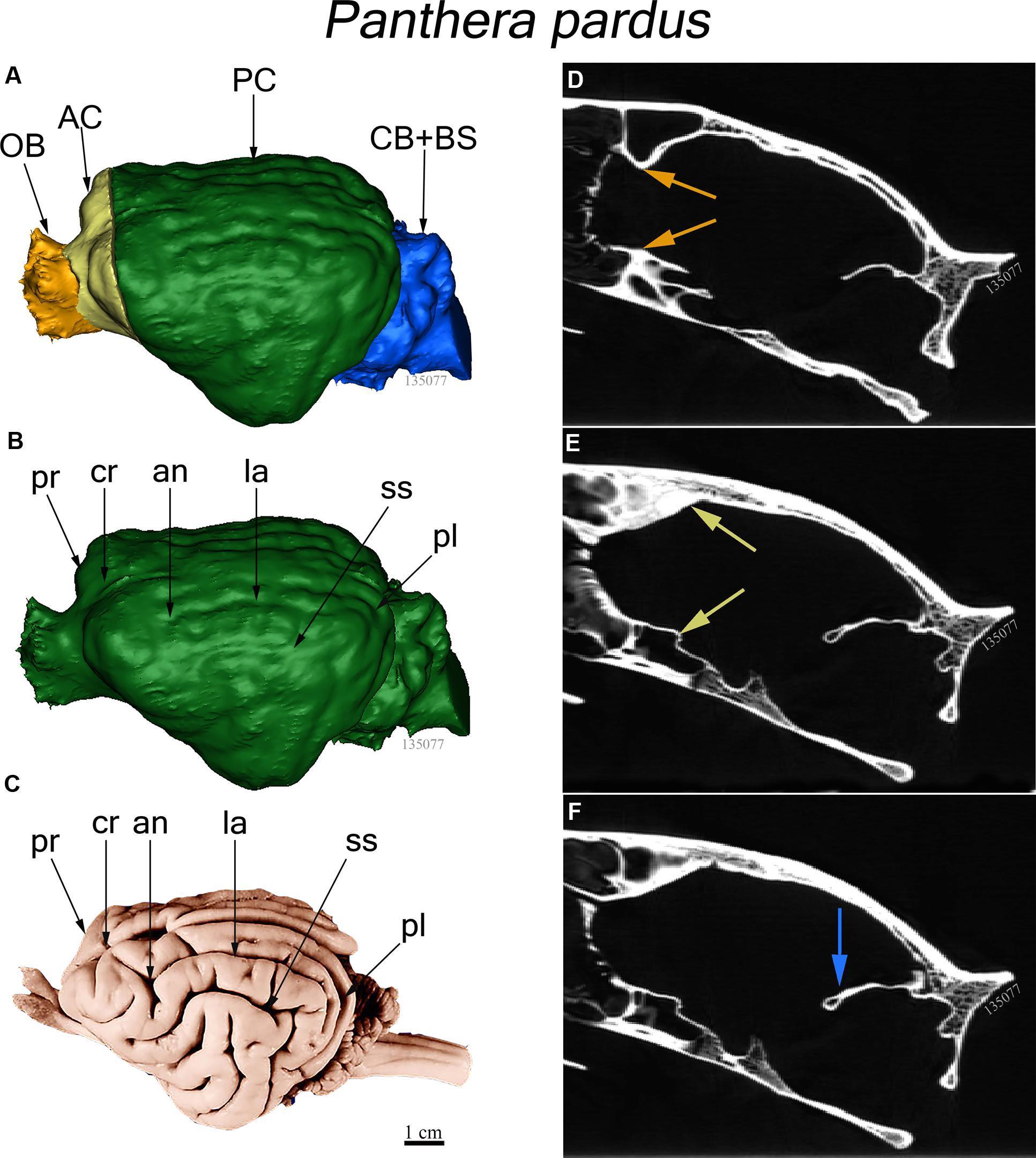В размерах мозга «виноват» не только социум или немного о мозге Багира