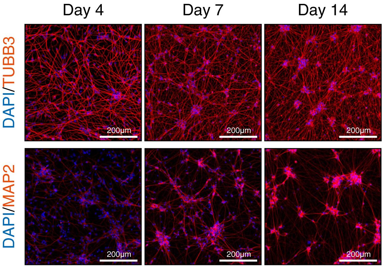 Как получить миллионы нейронов за день из стволовых клеток