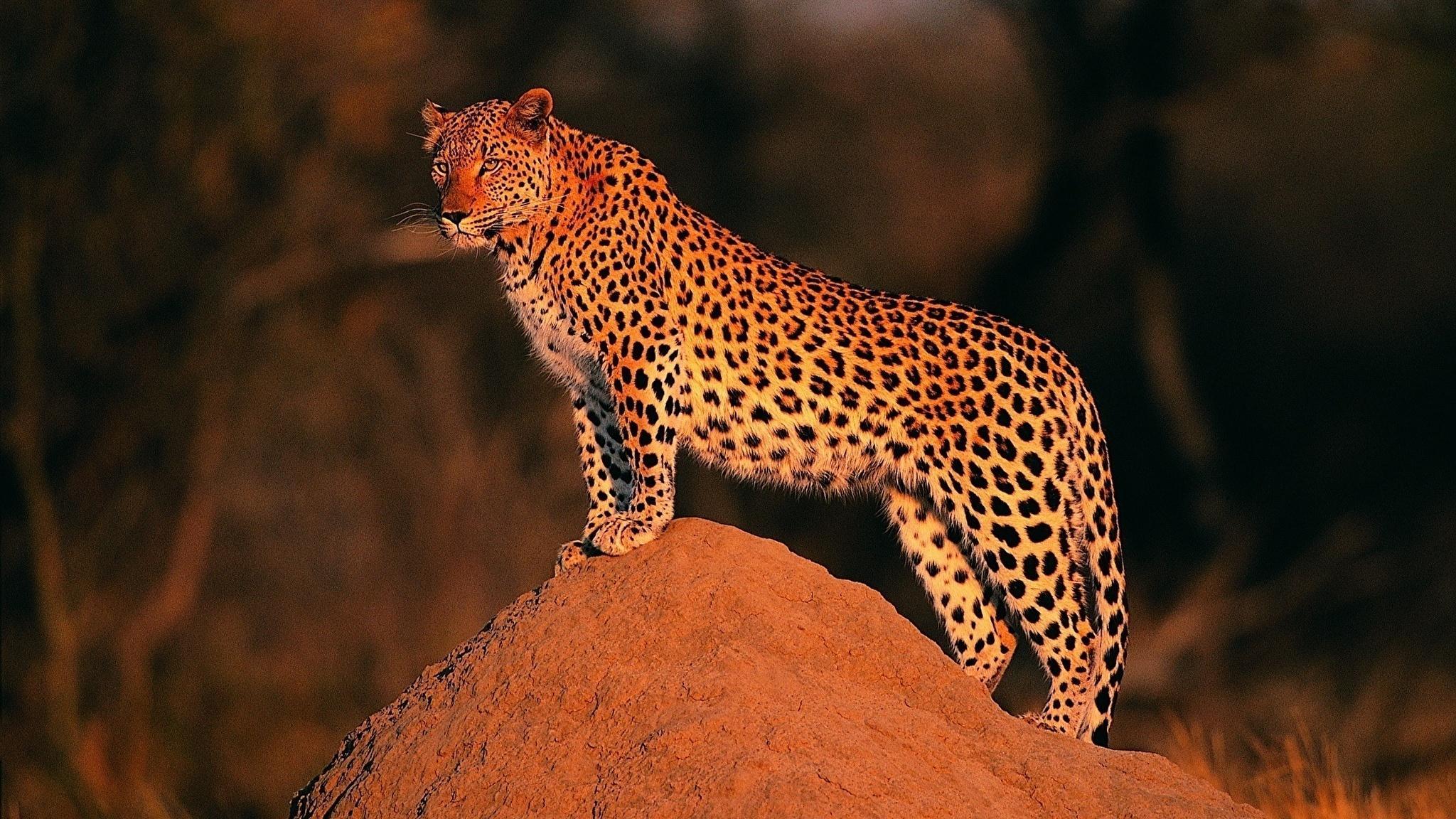 Самцы и самки леопардов выбрали разный режим дня
