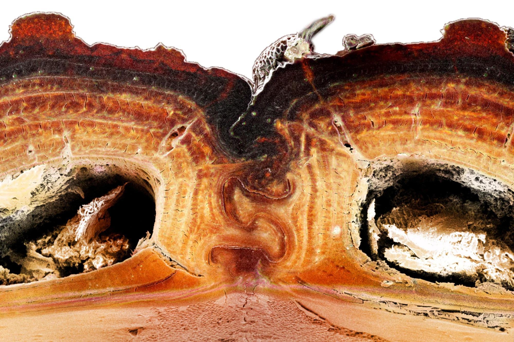 У сверхпрочного жука раскрыли секрет прочности