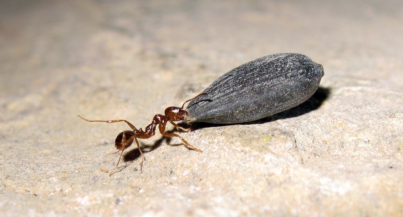 Выяснилось, почему муравьи такие сильные