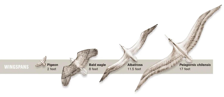 Гигантские ископаемые птицы оказались древнее, чем считалось