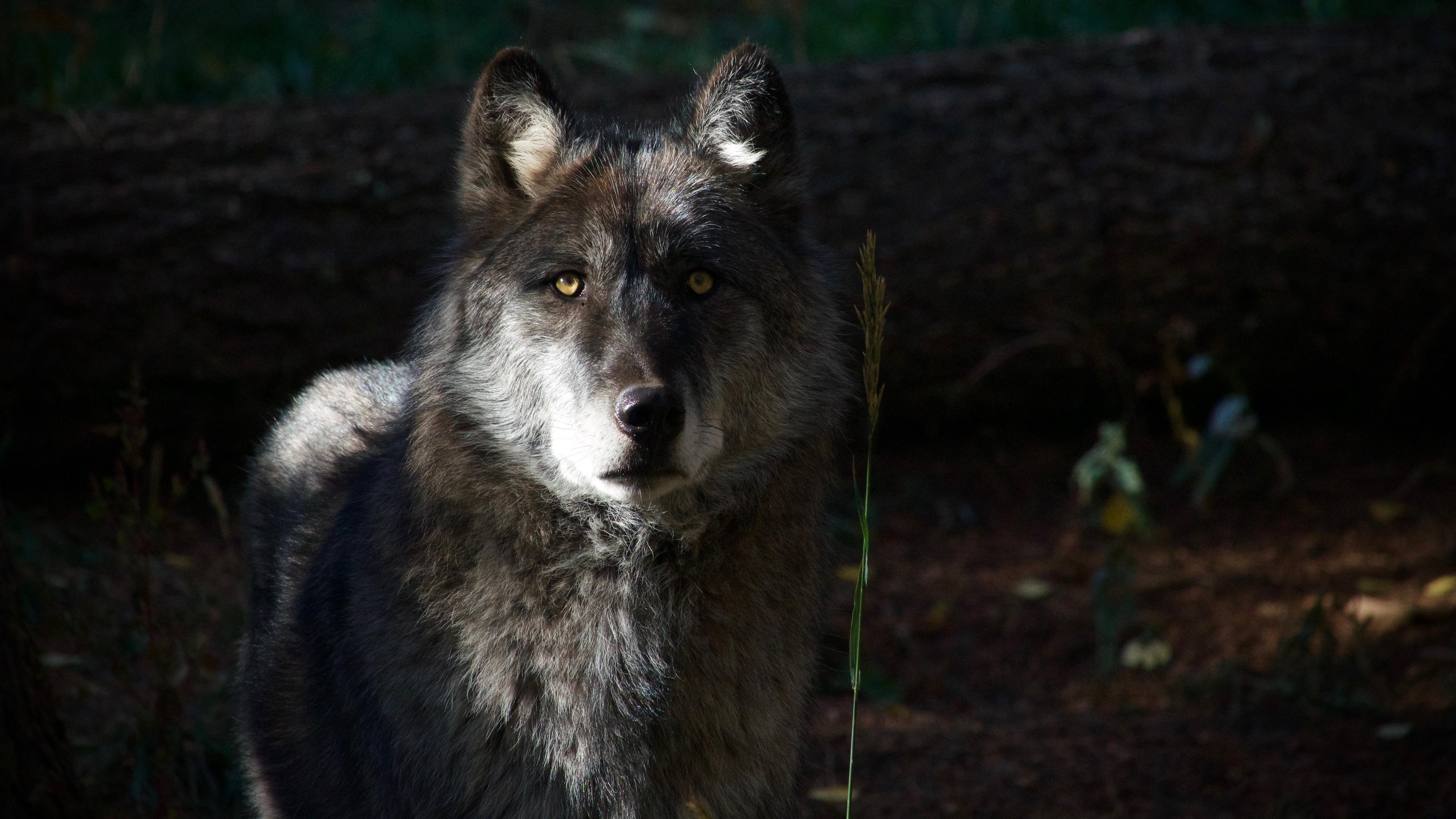 Популяция серого волка в США восстановлена, пора отстреливать?