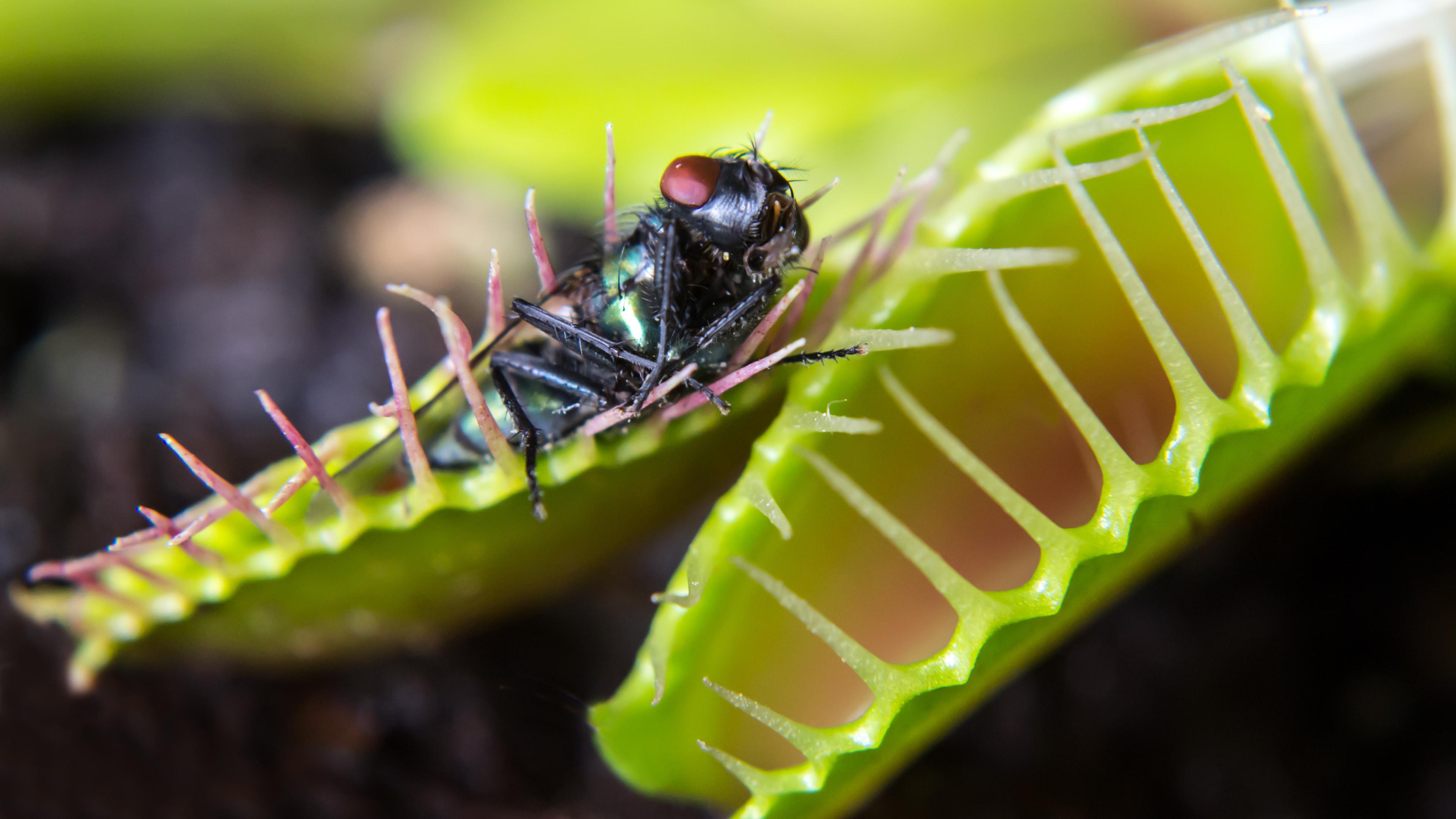 Как работает память у венериной мухоловки