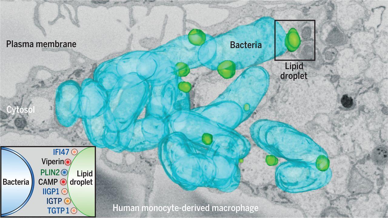 Жир помогает клеткам бороться с инфекцией