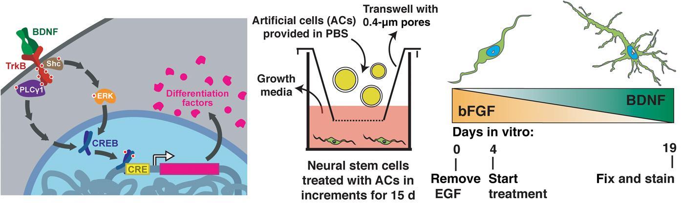 Искусственные клетки научили общаться с клетками млекопитающих