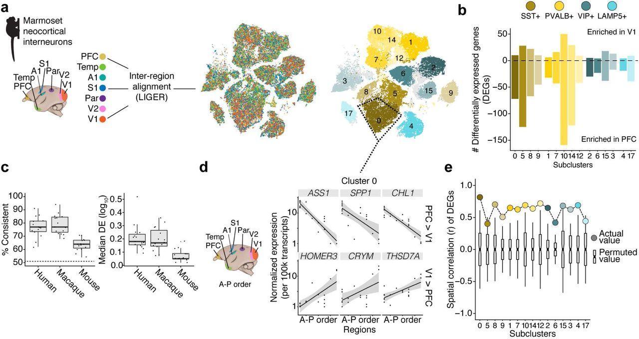 В мозге приматов обнаружили особый тип нейронов