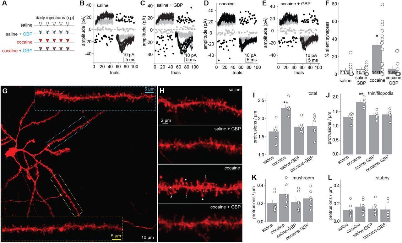 Кокаин образует новые синапсы в мозге посредством астроцитов