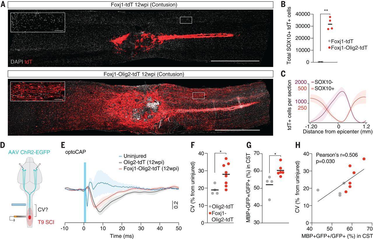 Как восстановить клетки спинного мозга