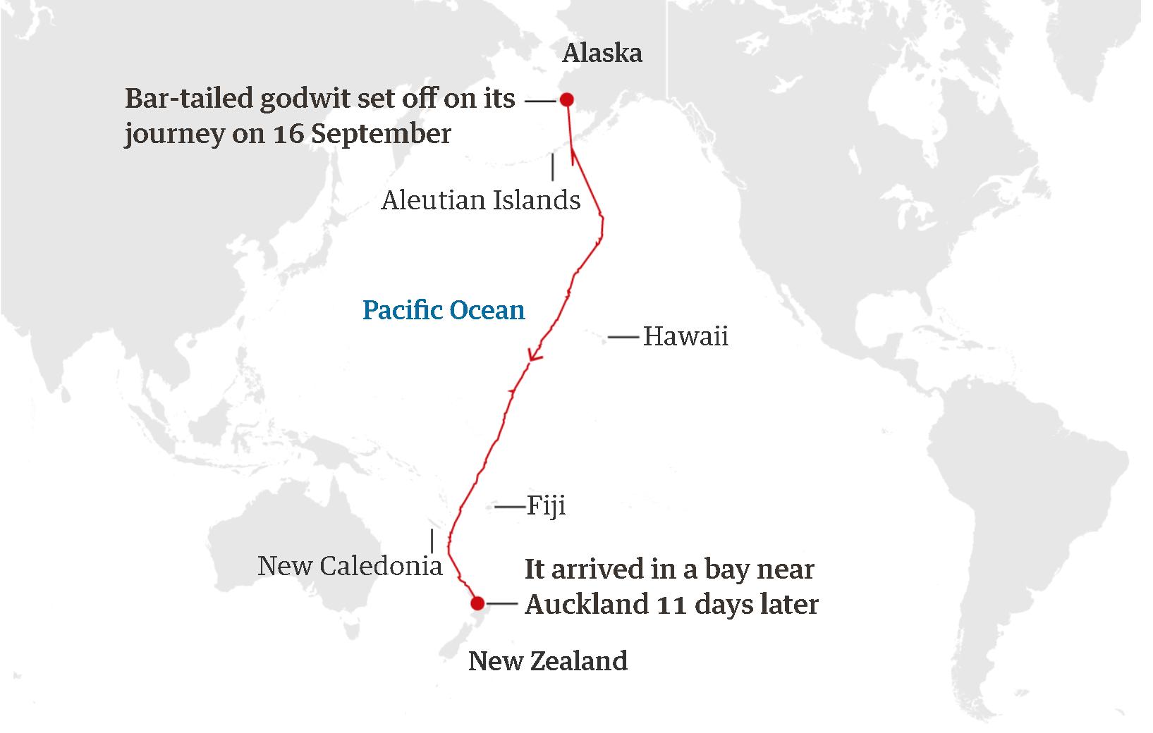 Арктическая птица установила новый рекорд беспосадочного полета