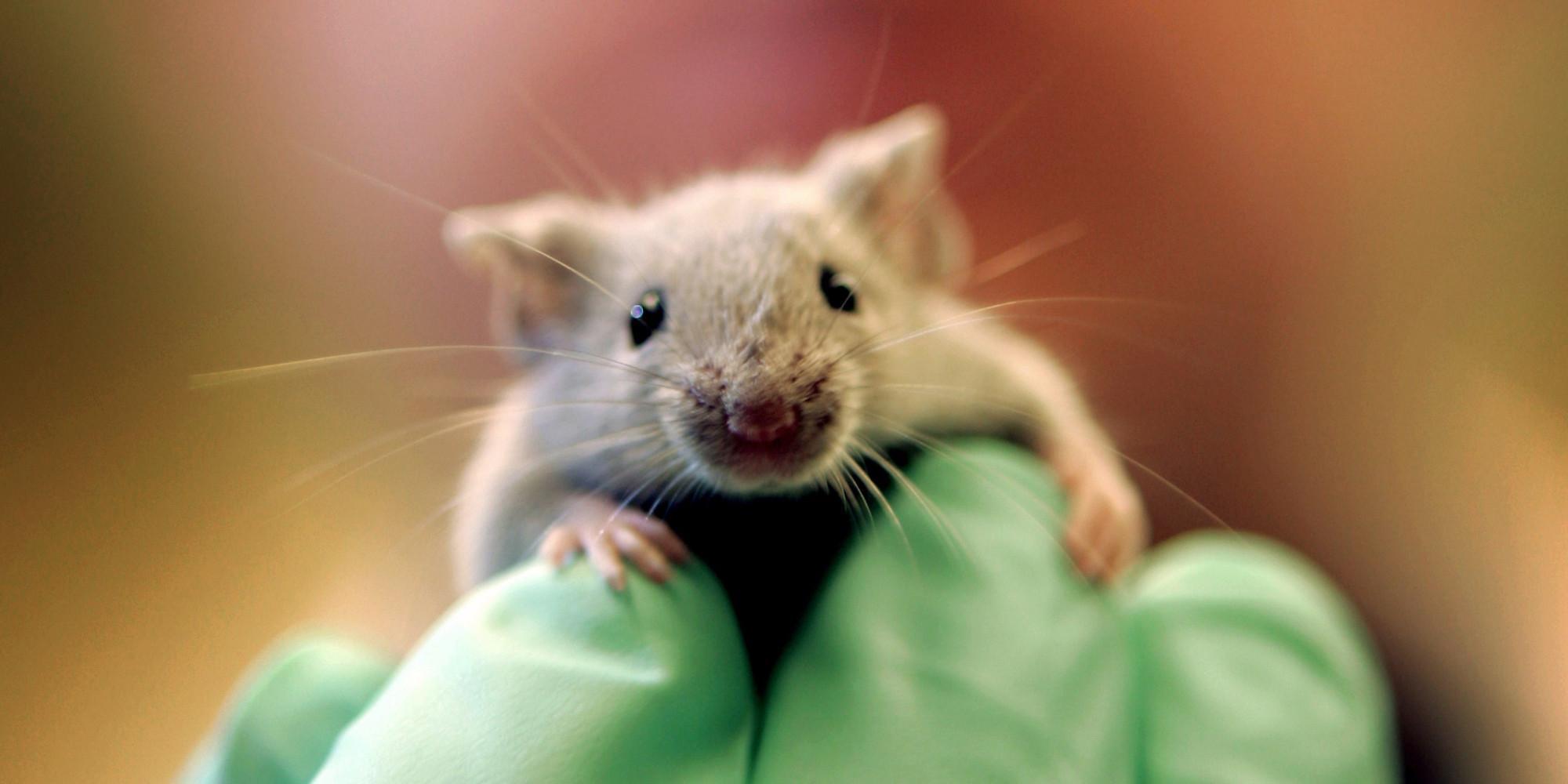 Марихуана обращает старение мозга вспять. У мышей