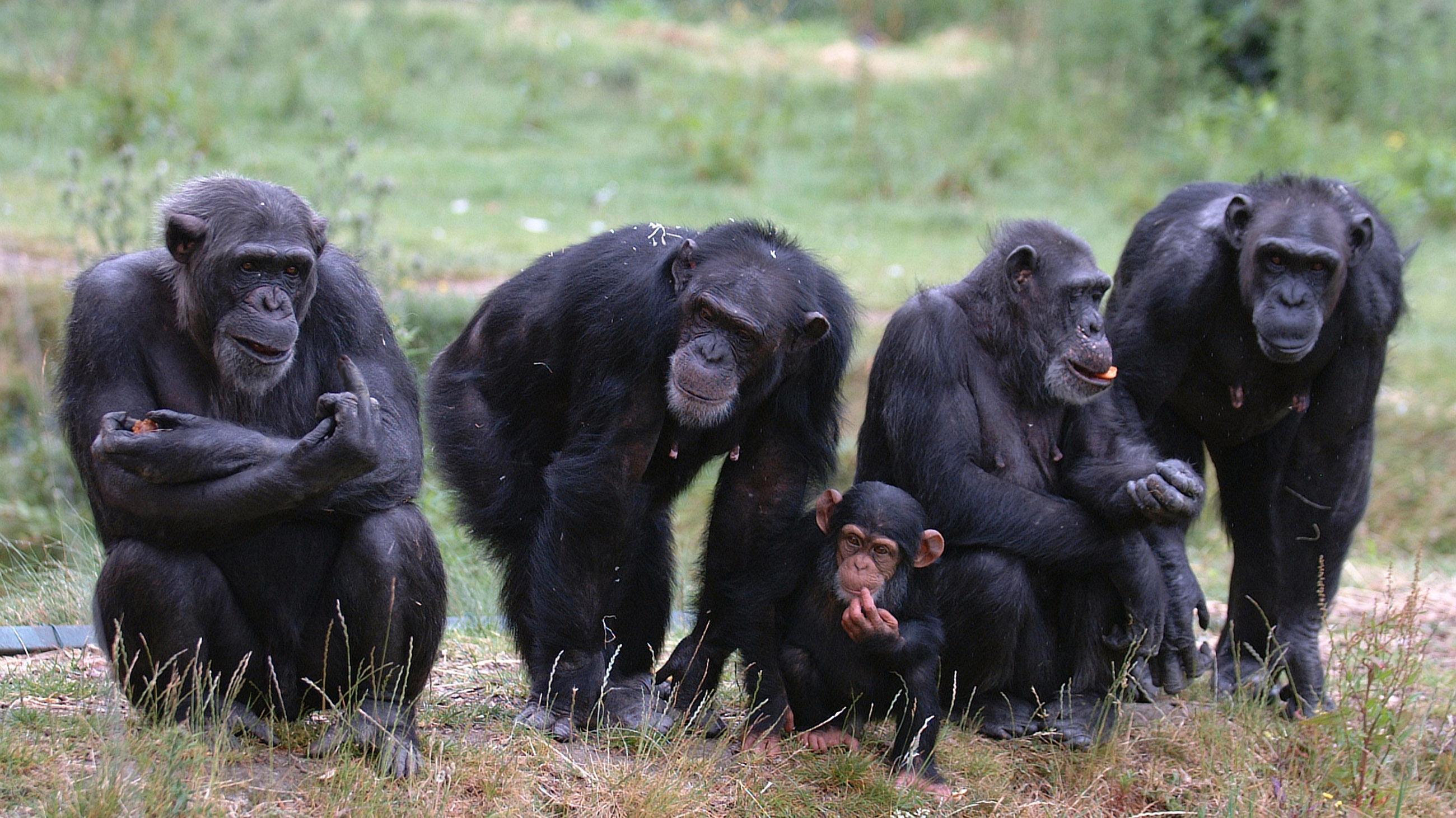 Шимпанзе, как и люди, не склонны заводить друзей в старости