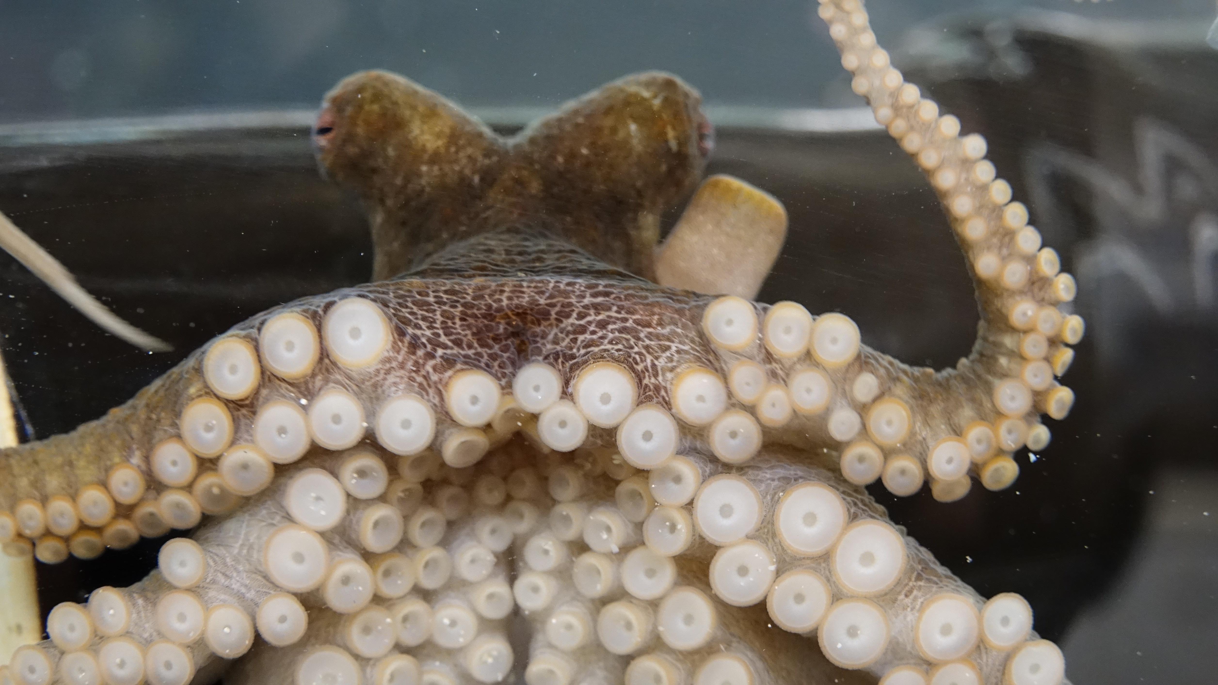 В щупальцах осьминогов нашли вкусовые рецепторы