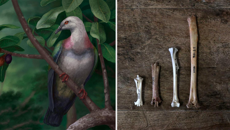 На островах Тонга обнаружили остатки полуметрового вымершего голубя