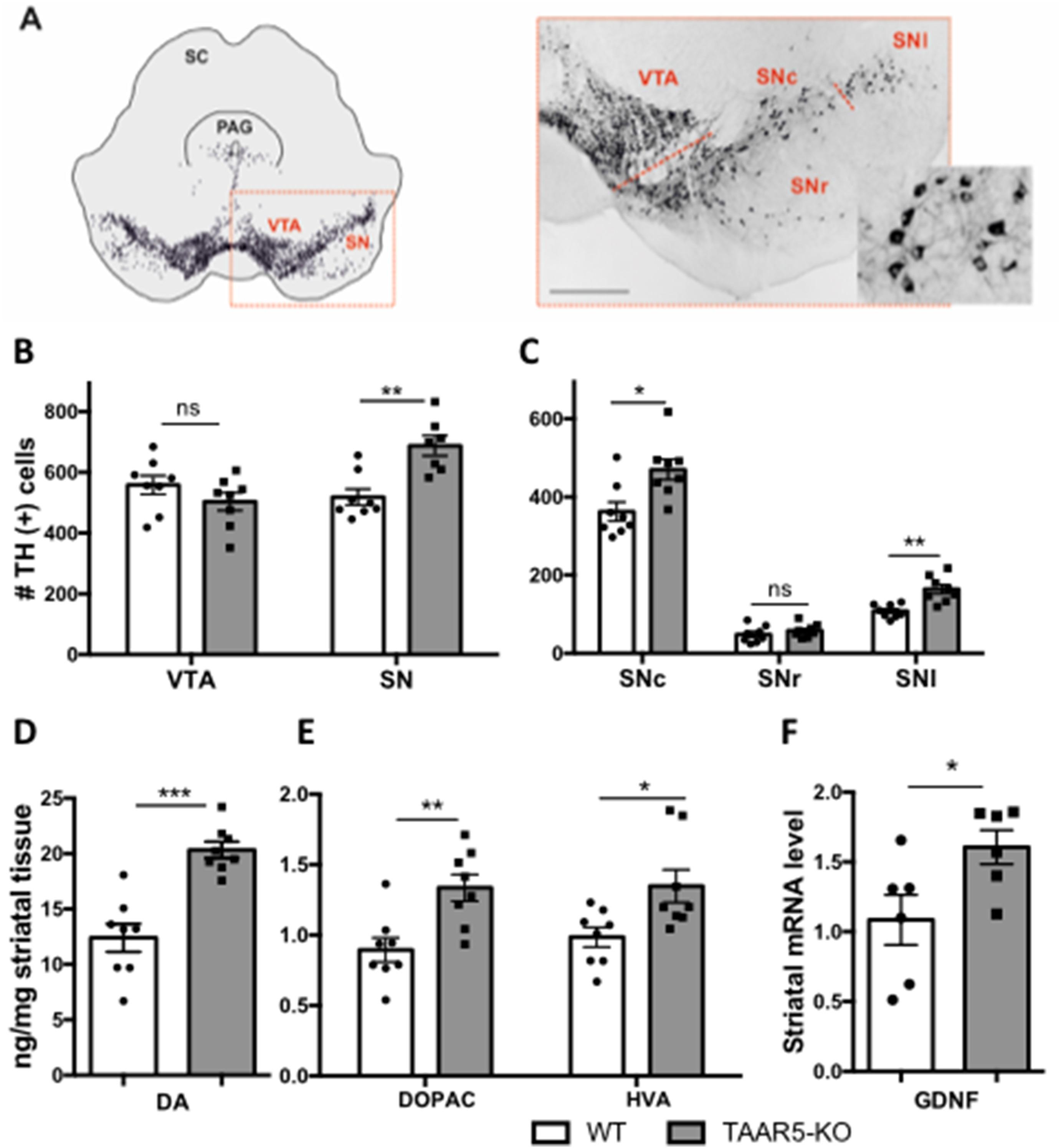 Новая нейромедиаторная система на основе следовых аминов способна восстанавливать нервные клетки у взрослых особей