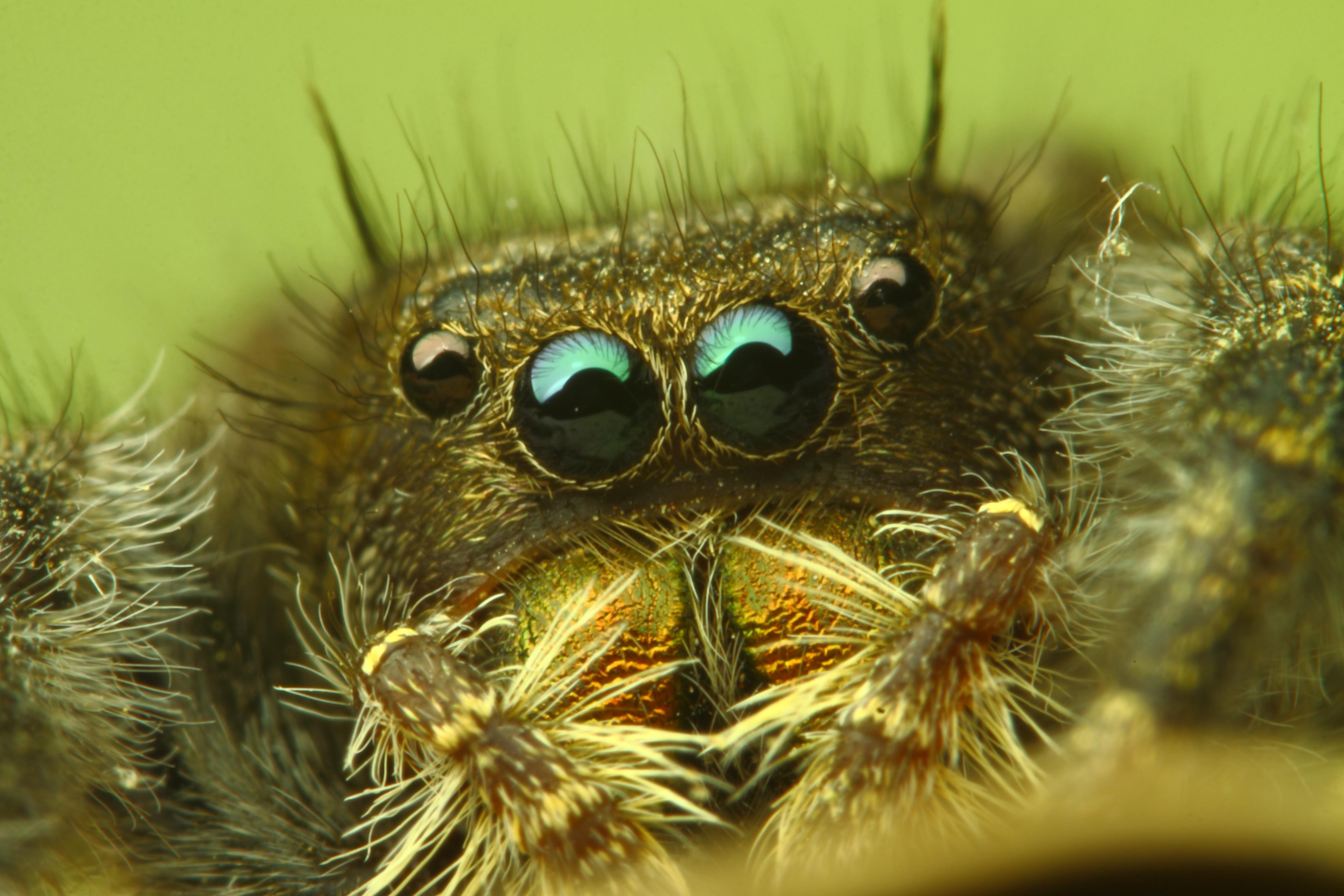 Пауки-скакунчики смотрят во все глаза