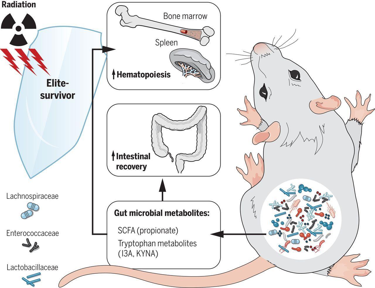 Кишечные бактерии защитили мышей от радиации