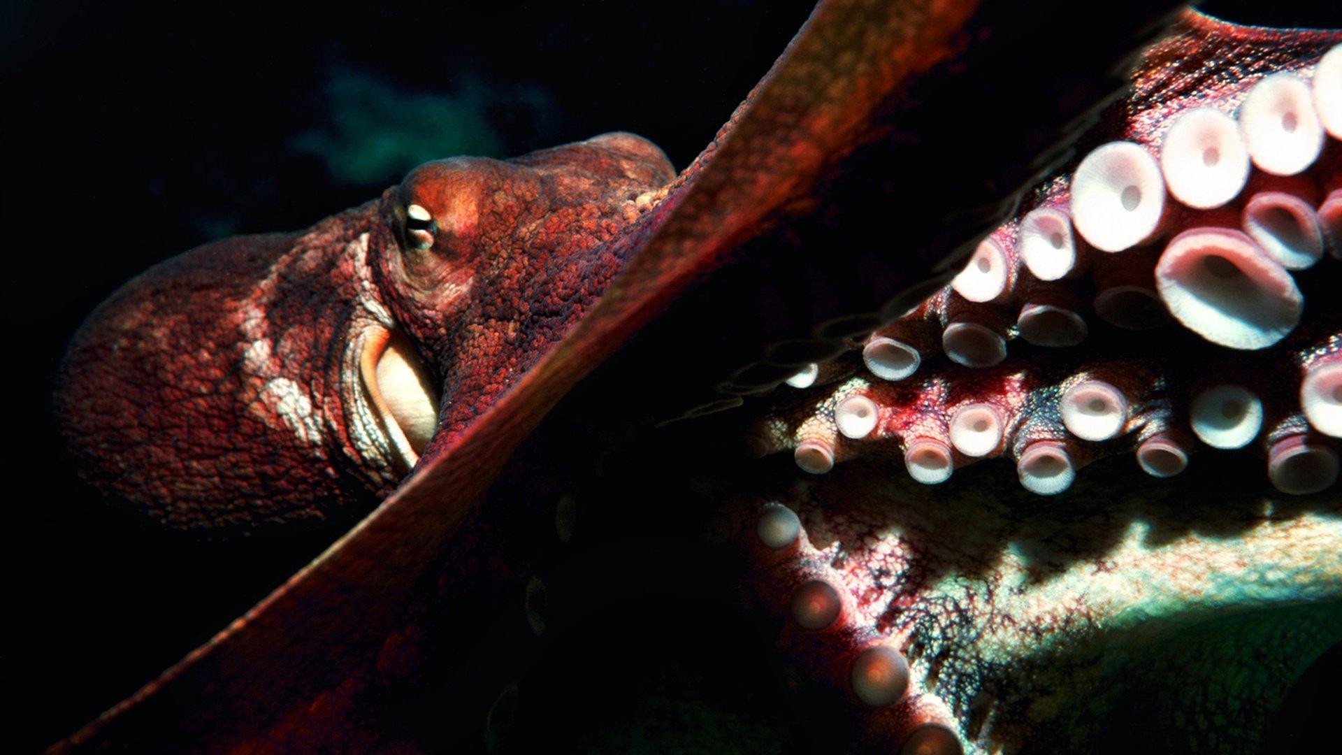 Как осьминоги чувствуют вкус «руками»