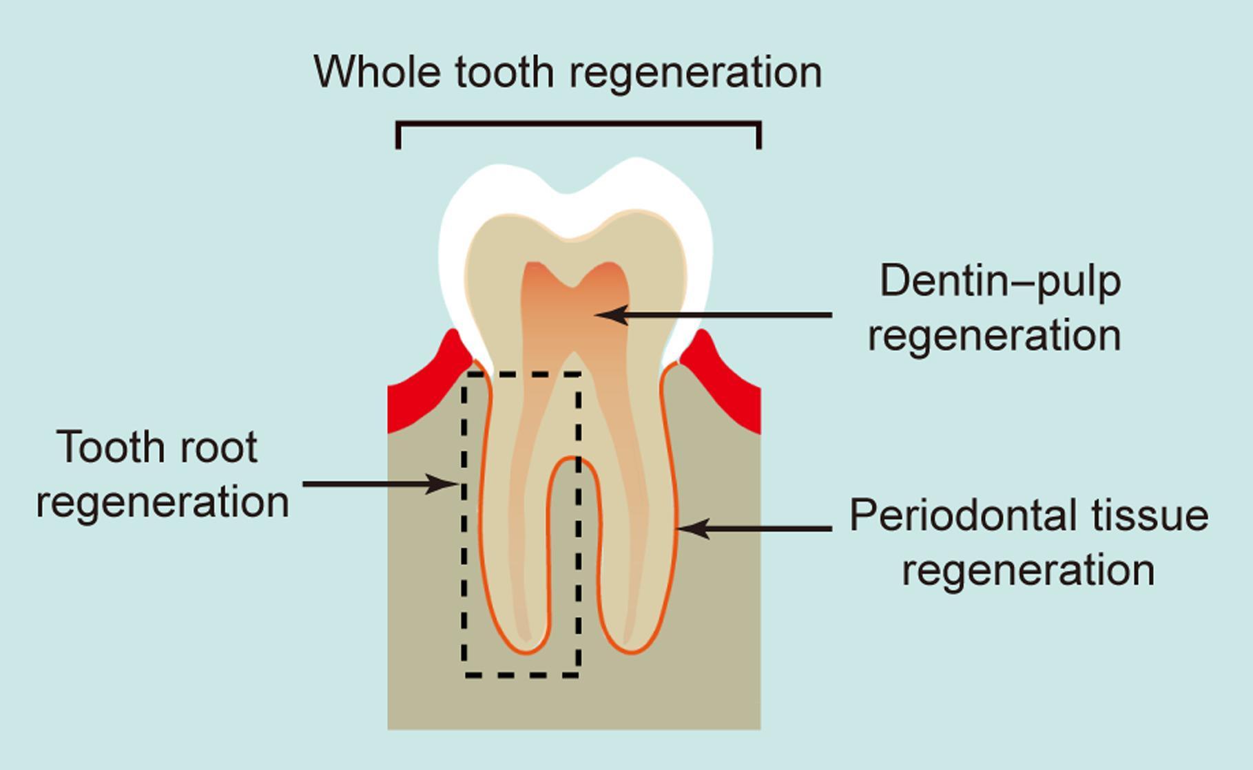 Возвращение зубов. Почему наши зубы не идеальны и есть ли шанс это исправить
